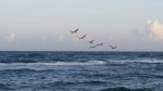 flock of pelicans
